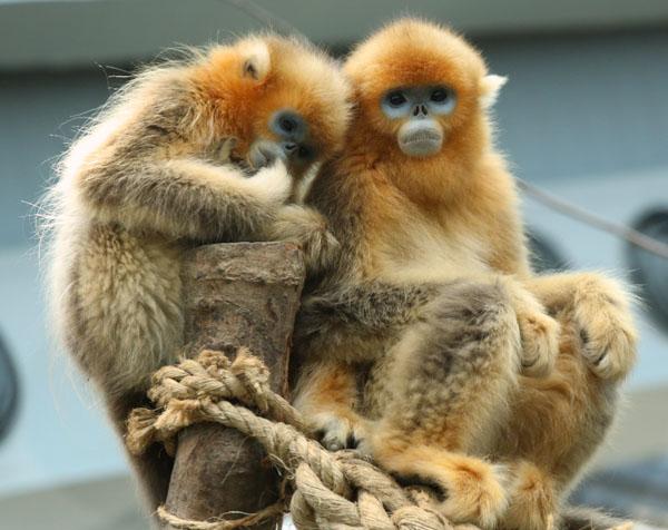 成都动物园所送展川金丝猴在港近照