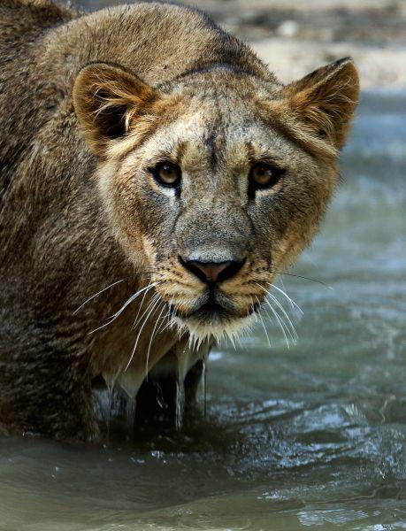 狮子在水里很是惬意.jpg