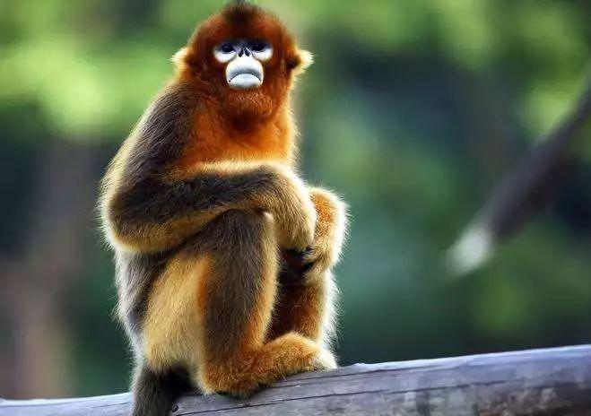 川金丝猴一直以来是我们动物园的骄傲,活泼可爱的它们也是深受到园