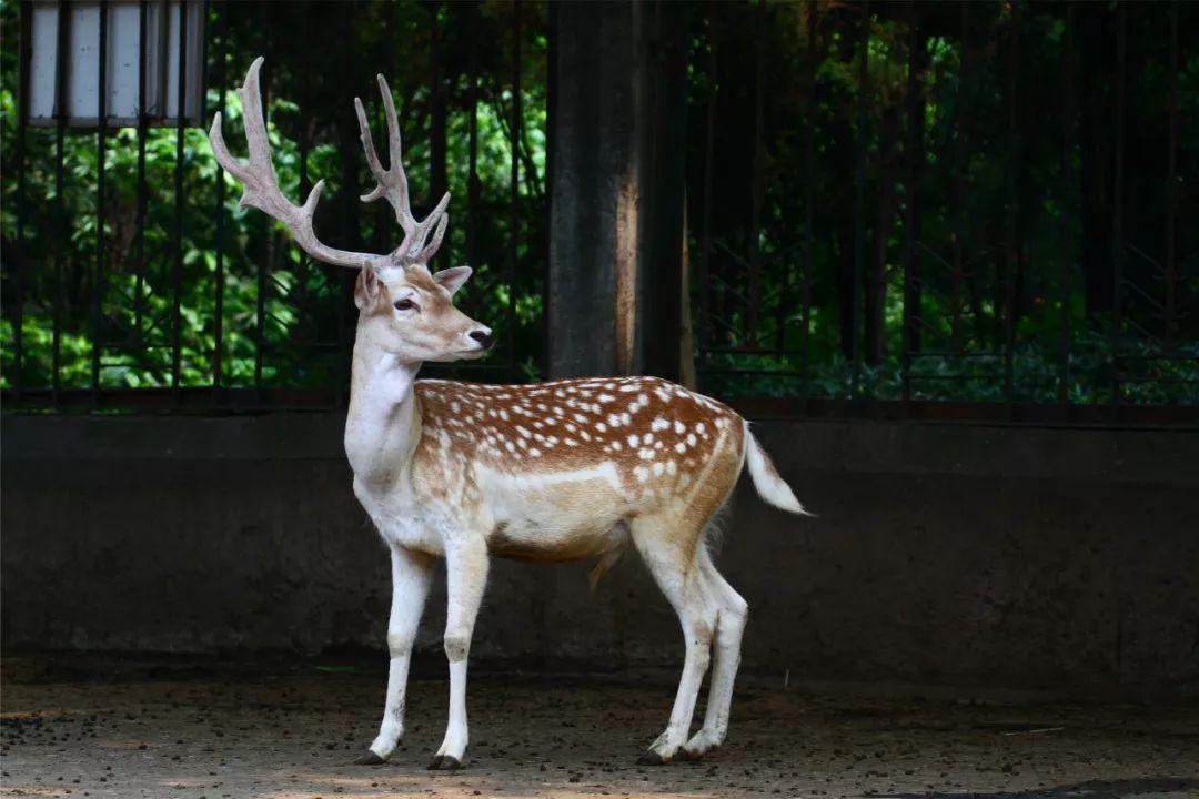 动物园的鹿你都认识吗?它们都是独一无二的天使!