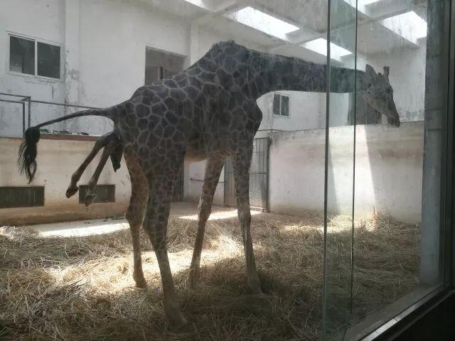首页 最新动态 快讯   现在,我们动物园的长颈鹿队伍越来越壮大