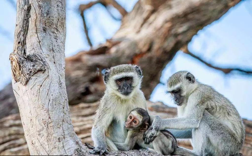 """动物园里的这群猴子,居然会""""说话""""?你见过吗?"""
